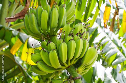 Photo 熟成前のバナナの実