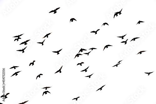 Volo in libertà. Emigrazione. Uccelli e ali. Fototapeta