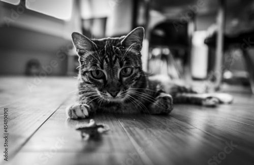 Cuadros en Lienzo Grayscale shot of a kitten lying on the ground indoors