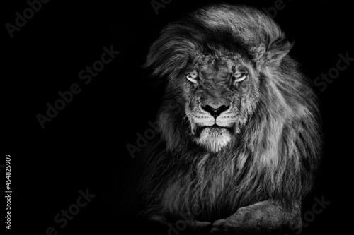 Fotografia Lion king , Portrait Wildlife animal single. isolated white