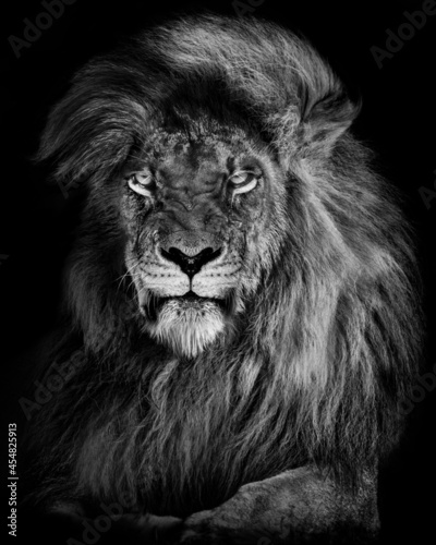 Lion king , Portrait Wildlife animal single. isolated white Fototapeta