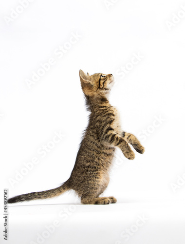 kitten stands on two hind legs and stretches upwards on a white background Fototapet