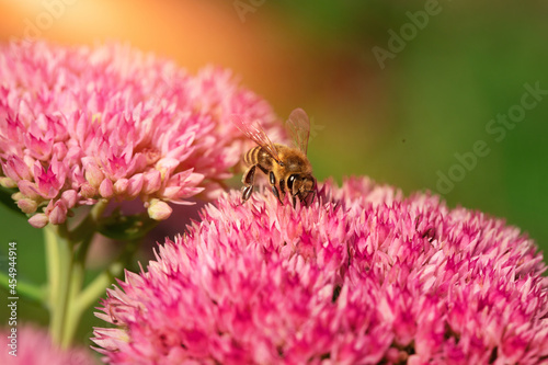 rozchodnik i pszczoła