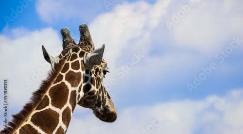 Żyrafa #454990913