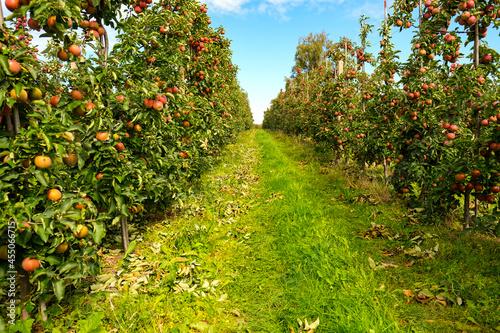 red apples on branch. Autumn harvest, Orchard Fototapet