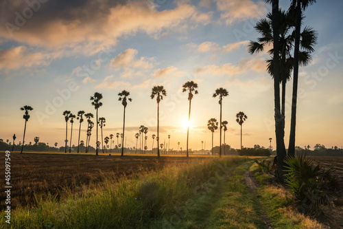 footpath to sugar palm and paddy rice field at sunrise Fototapet