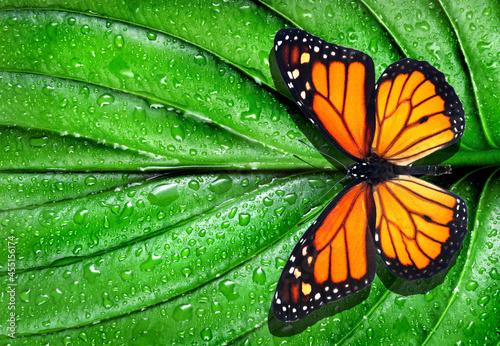 Fototapeta colorful monarch butterfly on green leaf in water drops