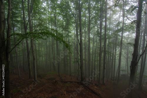 Fototapeta Beech forests in the Jizera Mountains, Czech republic, UNESCO