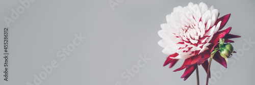 Bunch of red and white dahlias Fototapet