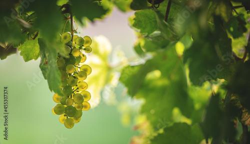 Canvas-taulu Weißweintrauben am Weinstock kurz vor der Ernte