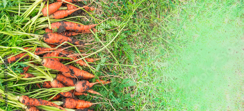 Fotografia Freshly dug carrots with dirt and tops are lying on the green grass, harvest con
