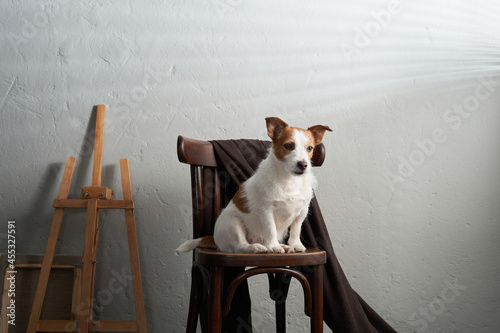 Fototapeta the dog sits on a chair against the background of a textured wall
