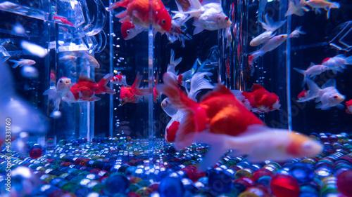 Canvastavla goldfish in aquarium