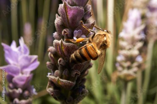 Canvas close up de abeja polinizando flores de lavanda, fotografia macro