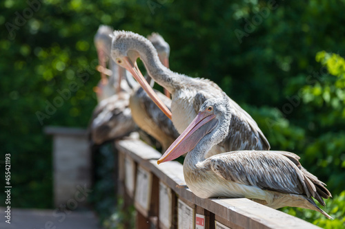 Fotomural Pelican - Pelecanus bird with a large beak cleans its feathers