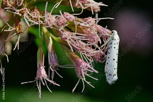 Billede på lærred Gespinstmotte, vermutlich Pflaumen-Gespinstmotte // Cherry ermine, orchard ermine (Yponomeuta cf
