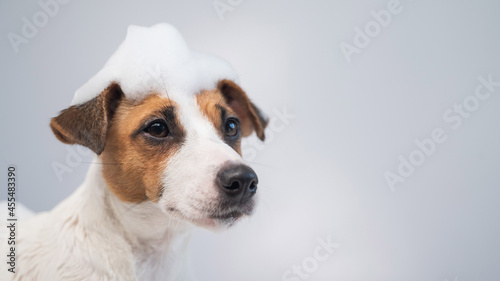 Fotografie, Obraz Funny dog jack russell terrier with foam on his head on a white background
