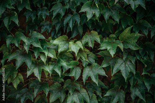 Fototapeta Green ivy leaves hedge creeper vine background