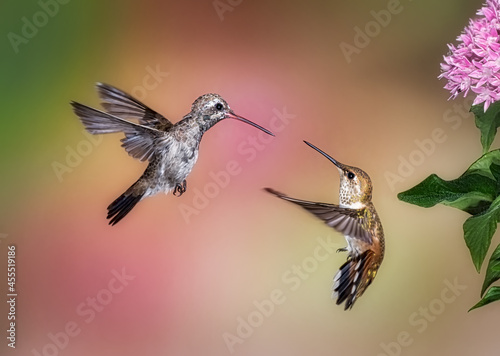 Photo Hummingbird Fight! Two hummingbirds fighting over food.