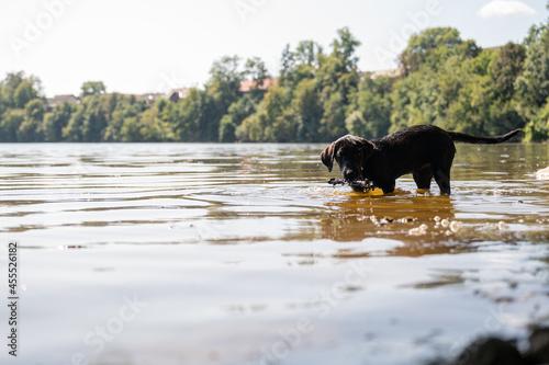 Obraz na płótnie Labrador puppy fetching a stick from the river