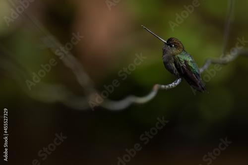 Fototapeta premium Grünstirn-Lanzettschnabel (Green-fronted Lancebill) La Paz, Costa Rica