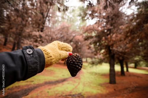 Fotografiet Bosque de pinos en otoño