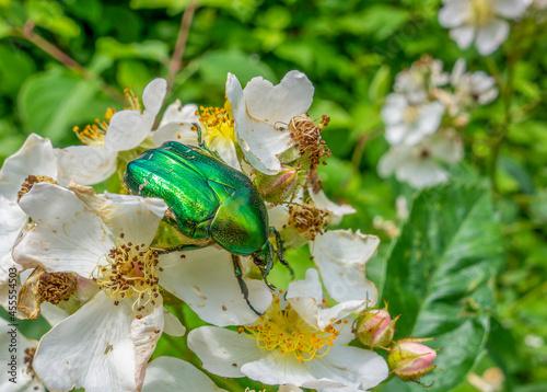 Valokuva Green rose chafer