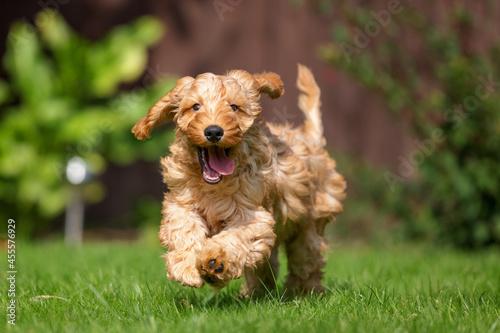 Fotografija A very excited Cockapoo runs toward the camera