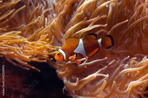 Fotografering clownfish
