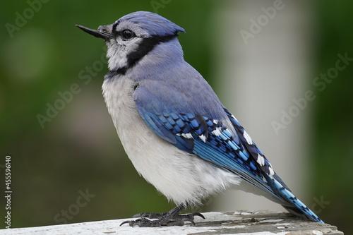 blue jay broken beak Fototapet