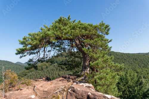 Canvas Single crippled pine stands on a mountain top on rocks