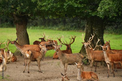 Obraz na plátně Many deer with antlers graze in the forest