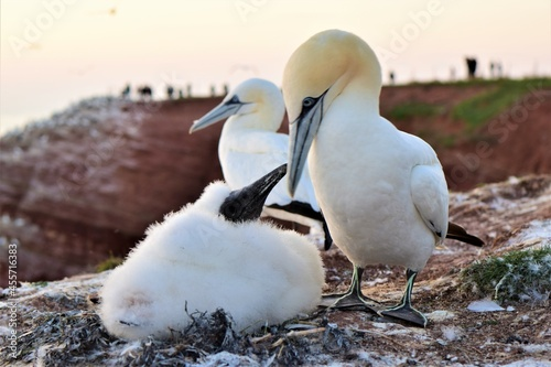 Fotografering Northern gannets with a youngster sitting on the rocks