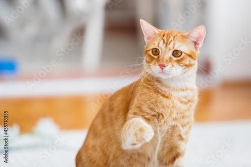 Ginger Cat Playing Indoors Fototapet