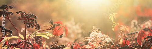 Fotografiet Autumn view of black elderberry in the rays of the autumn sun, banner with selec