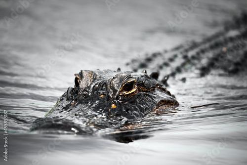 Fotografiet crocodile in the water