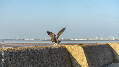 Fotografia Young Common Gull at the low tide of the Irish Sea