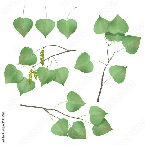 Fotografie, Obraz Vector leaves of aspen, poplar on a white background