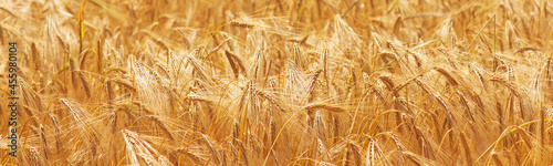 Foto Gold barley field background (agriculture, agronomy, industry)