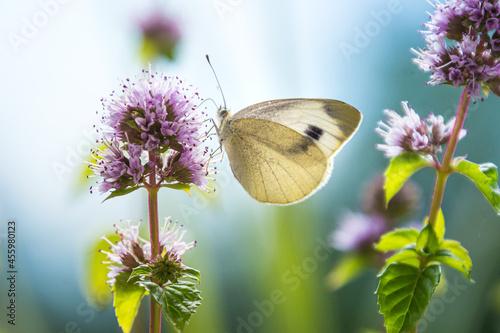 Macro of a cabbage white (pieris rapae) butterfly on a eau-de-cologne mint (ment Fotobehang