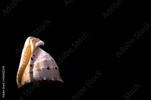 Seashell on black background Fototapet