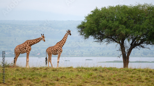 Baringo Giraffe, Giraffa camelopardalis