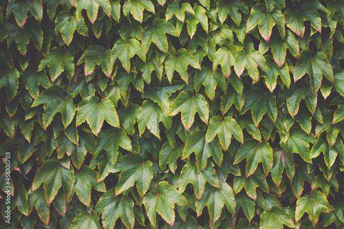 Fotografie, Obraz Virginia creeper Parthenocissus tricuspidata in the garden