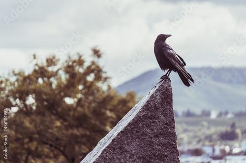 Fototapeta premium Crow