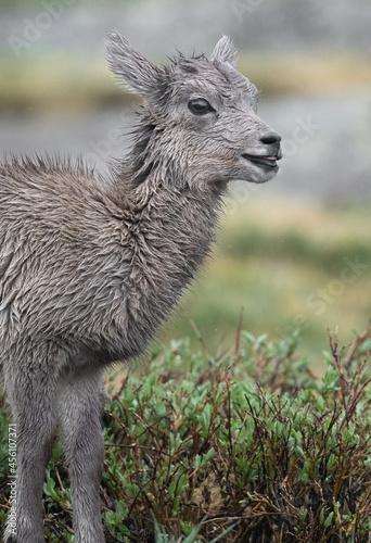 Fototapeta premium Baby Big Horns