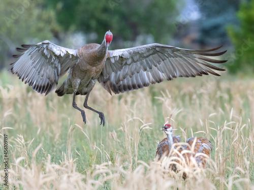 Fototapeta premium Cranes