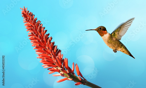 Fototapeta premium Hummingbird on a blue sky background