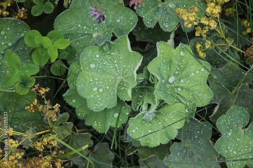 Stampa su Tela Alchemilla mollis glomerata, Lady's Mantle, Frauenmantel with raindrops on leave