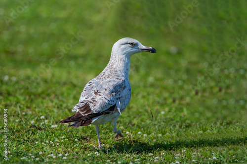 Fototapeta premium Yellow-legged seagull, (Larus michahellis) walking on grass.