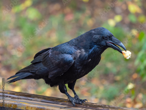 Fototapeta premium The black crow is eating. Close-up photo.